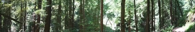 Muir Woods P08