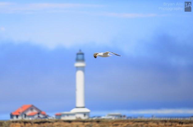 Point Arena bird in flight