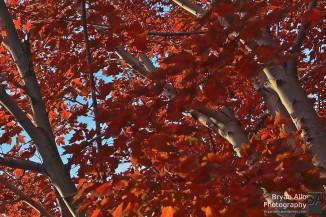 Closeup of Fall colors - handheld HDR